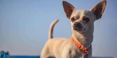 Do Chihuahuas Like Other Dogs