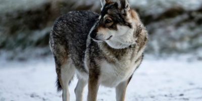 Get to know northern inuit dogs!