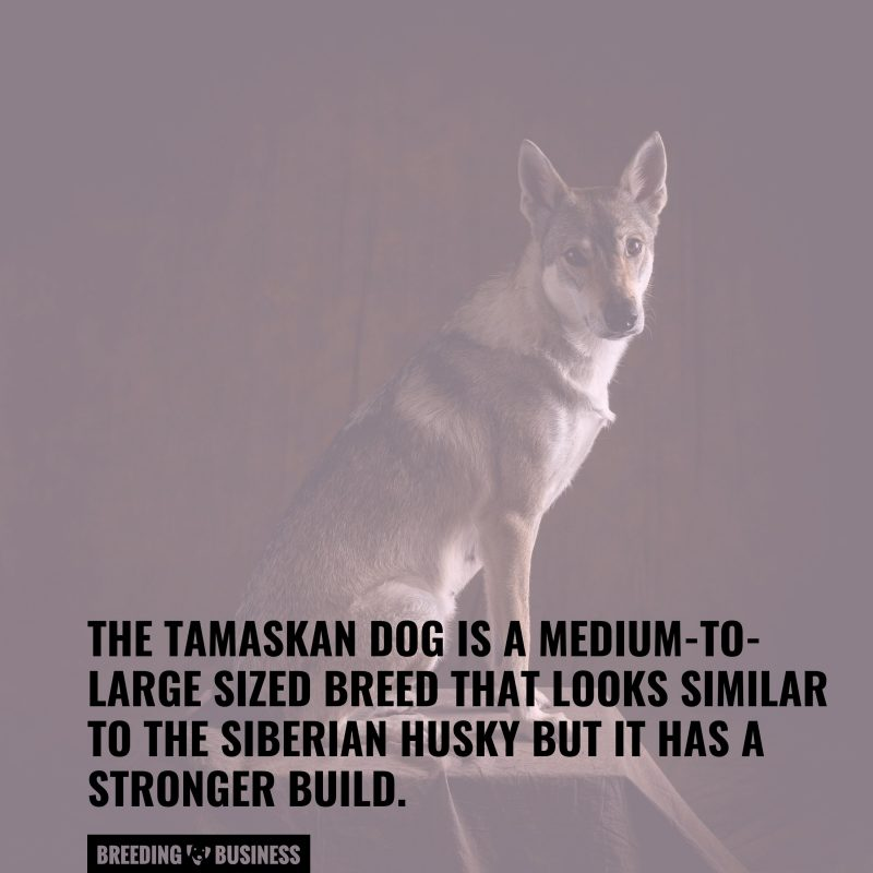 the tamaskan wolfdog