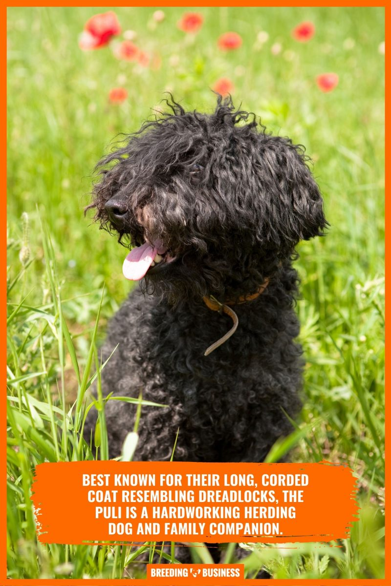 puli dog appearance