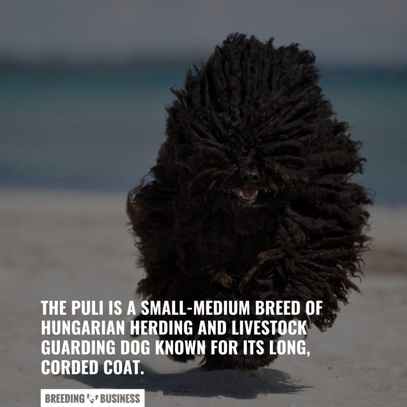 the origin of a puli dog