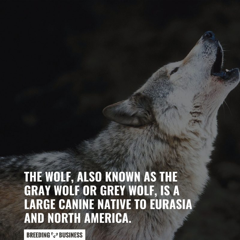 what is a wolf