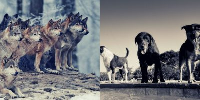 Find out what are the big and small differences between wolves and dogs.