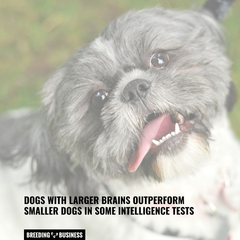 big dogs naturally outperform small dogs