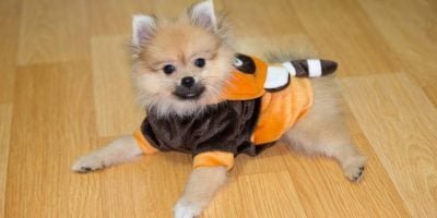 Breeding Pomeranians: A Must-Read Introduction To Breed The Right Way