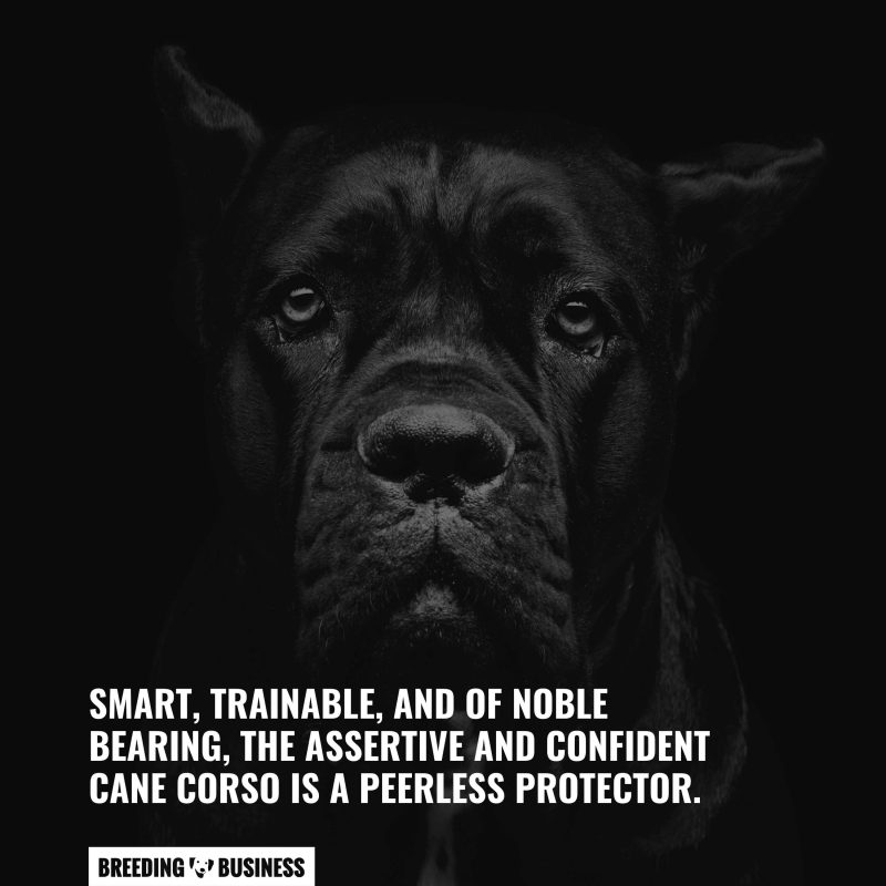 The personality of the Cane Corso.