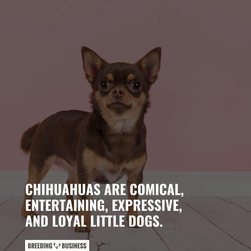 temperaments of chihuahuas