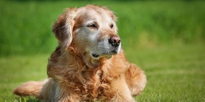 What dementia for dogs really is