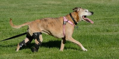 Find out everything you need to know about knee braces for dogs!