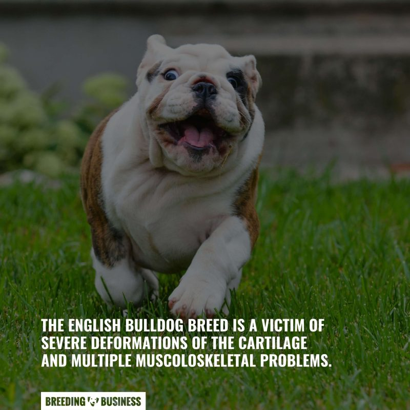 musculoskeletal issues in English Bulldogs