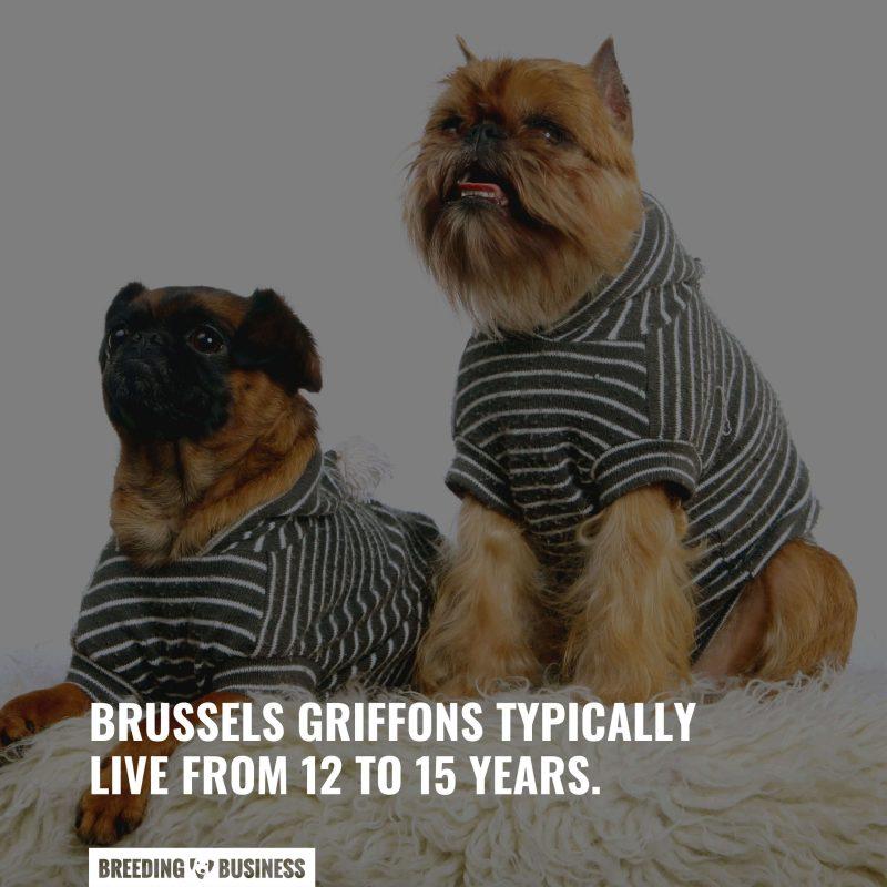 griffon bruxellois lifespan