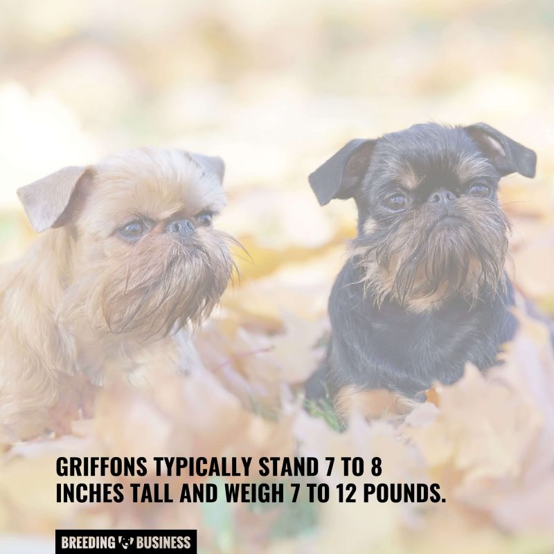 Height and weight of Griffon Bruxellois