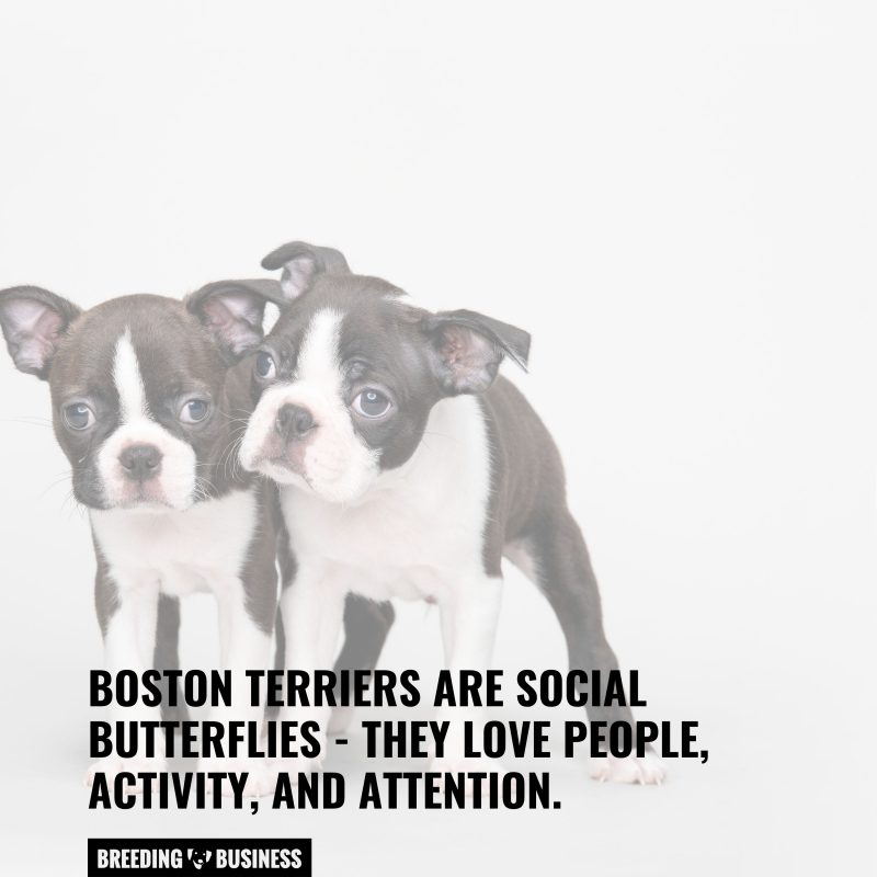 boston terriers are low maintenance