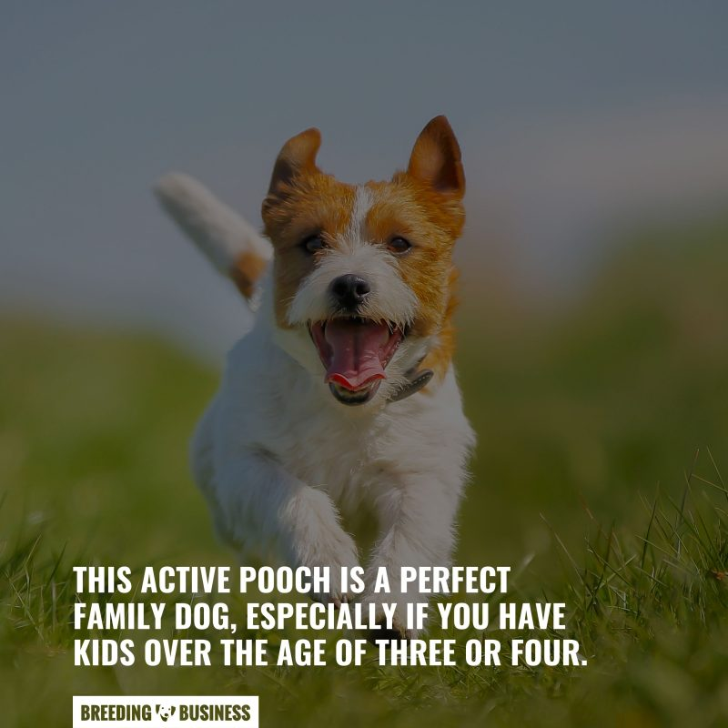jack russells are low maintenance dogs