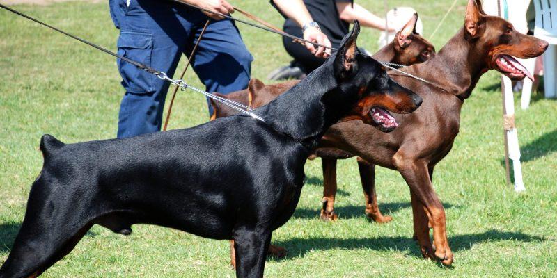 Dog Show World: Politics & Pooches