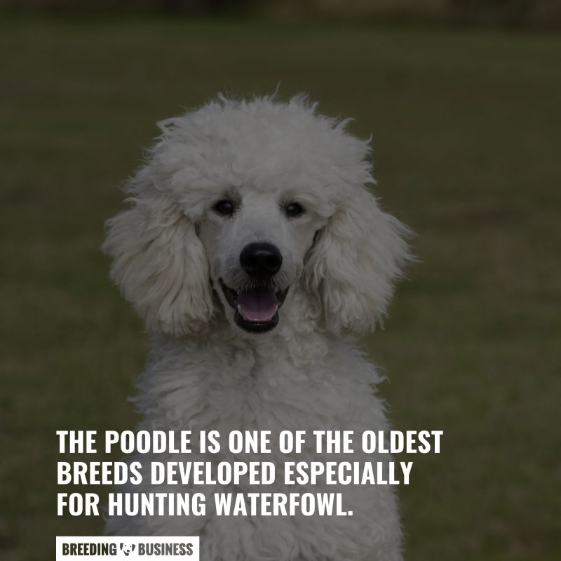 floppy eared poodles