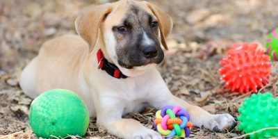 Find out which toys are good for you puppy and how much toys can make a difference inside the house!