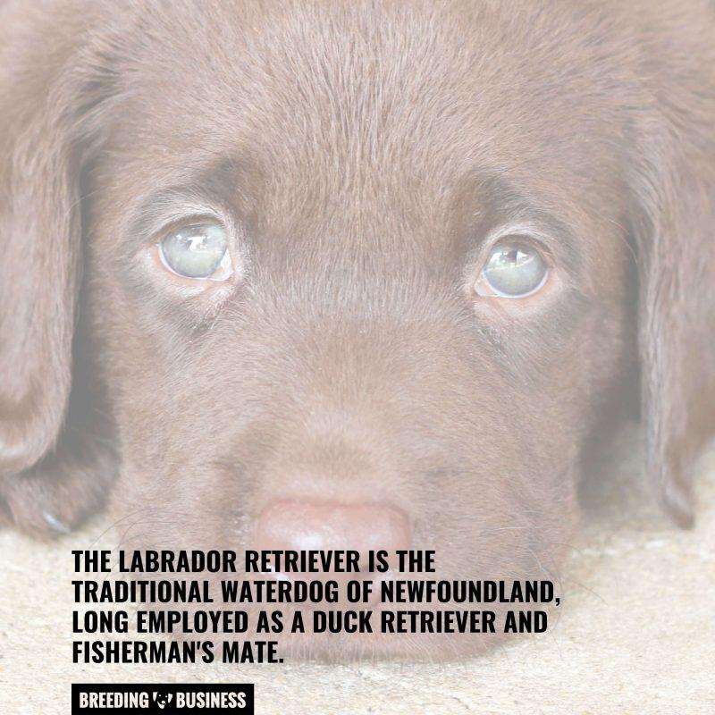 Labrador Retriever guide