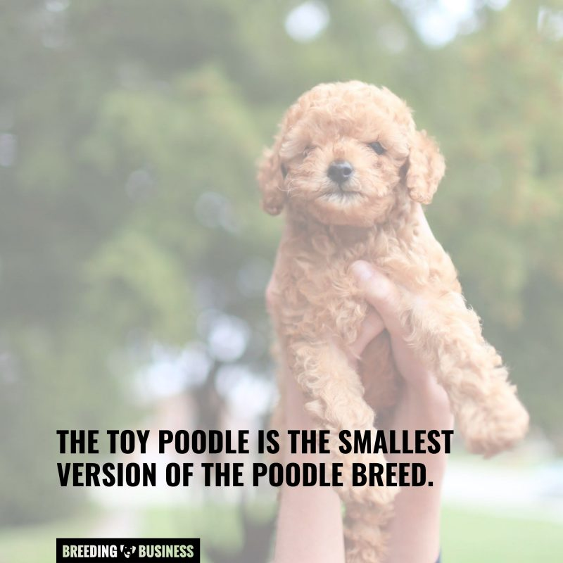 size of toy poodles