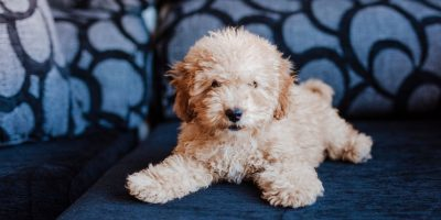 Are Toy Poodles Smaller Than Miniature Poodles?