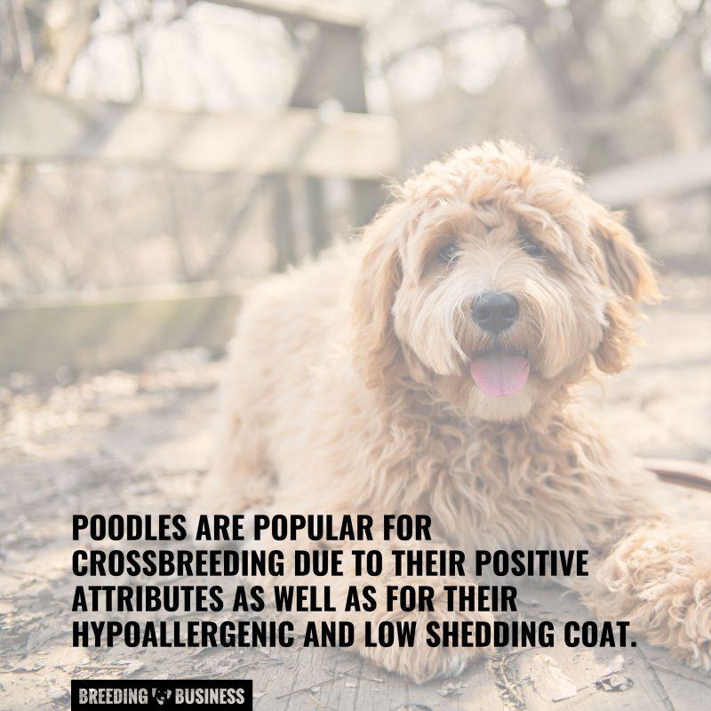 poodle crossbreeding