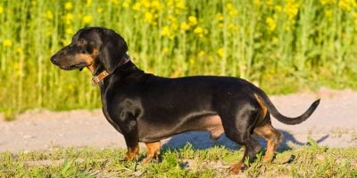 Find out the different common problems in male dog breeding!