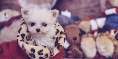 Find out the difference between micro dogs and teacup dogs.