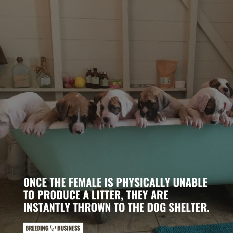 keeping dogs for breeding