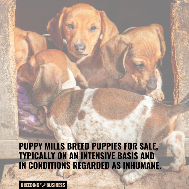 puppy mills selling puppies