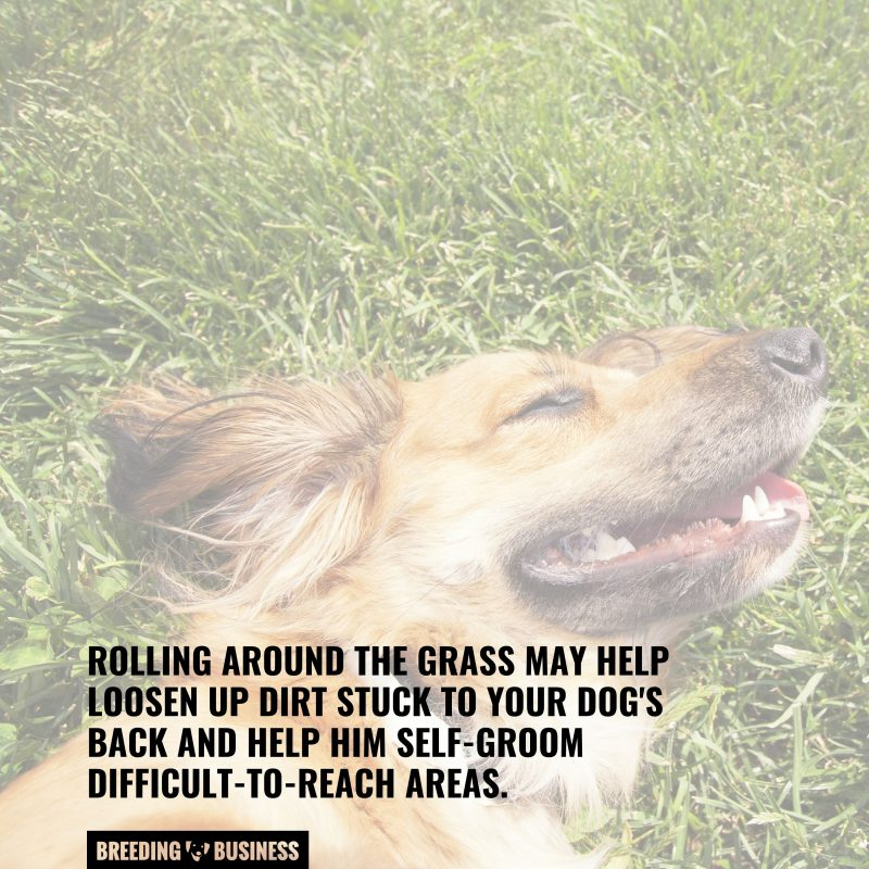 reason behind dogs rolling on grass