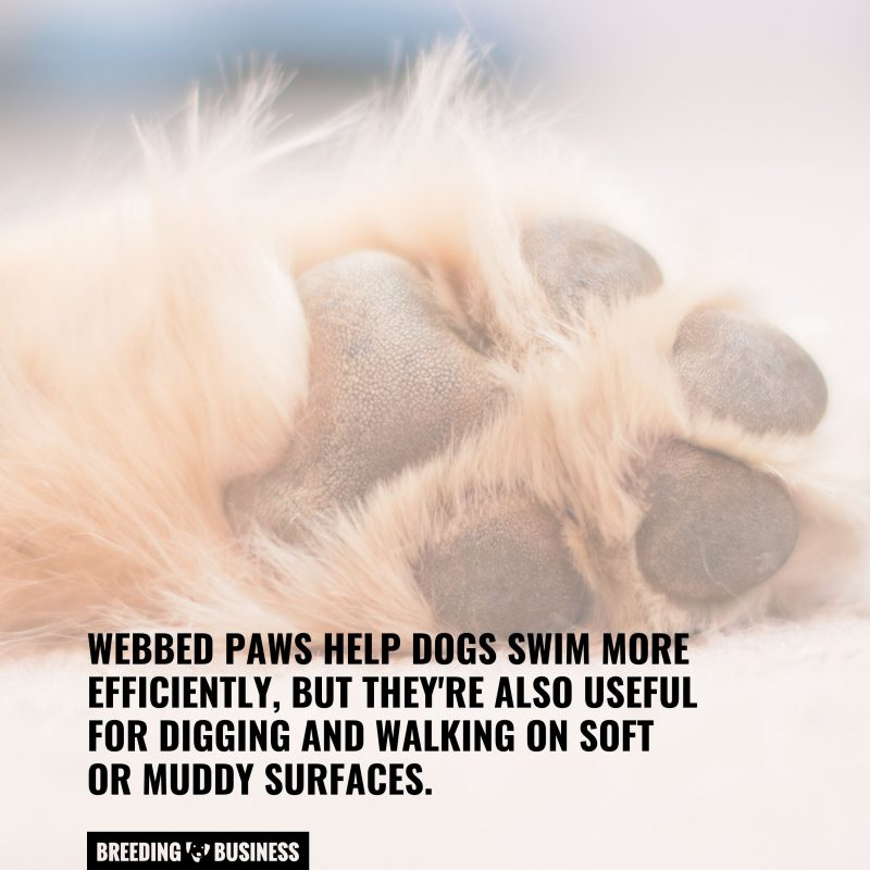 dogs need webbed paws