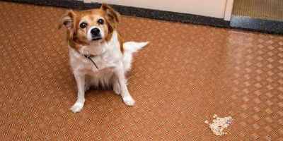 Find out what anti-vomiting medications your dog needs.