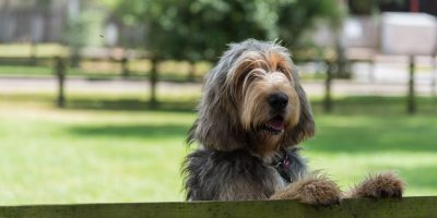 How To Breed Otterhounds