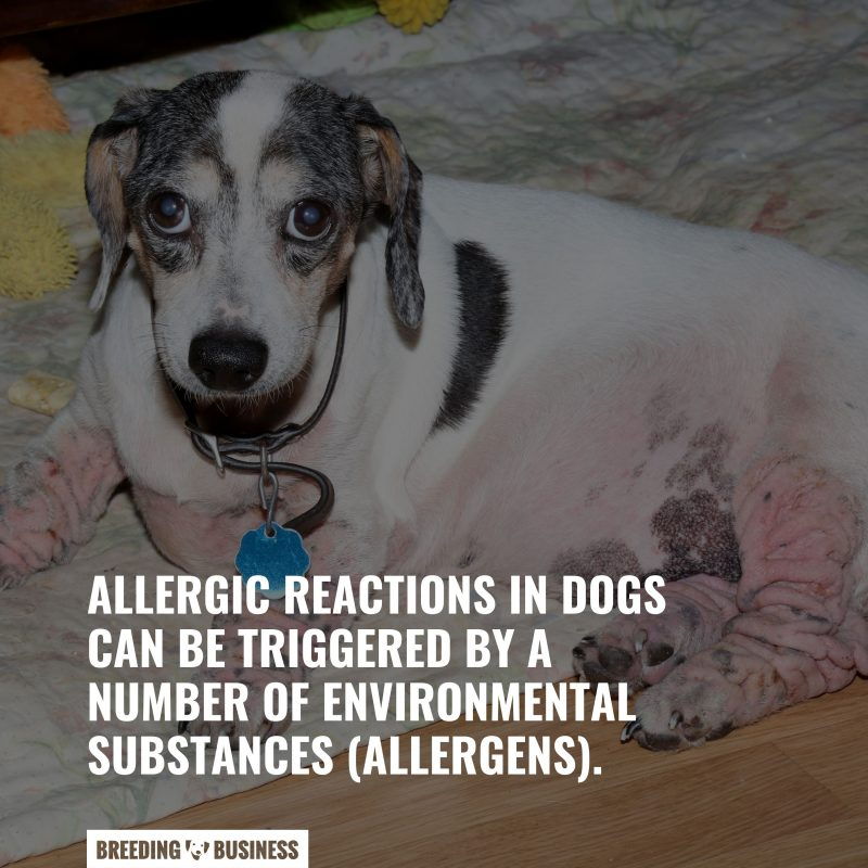 allergic reactions of dogs
