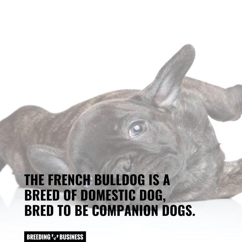 breed of french bulldog