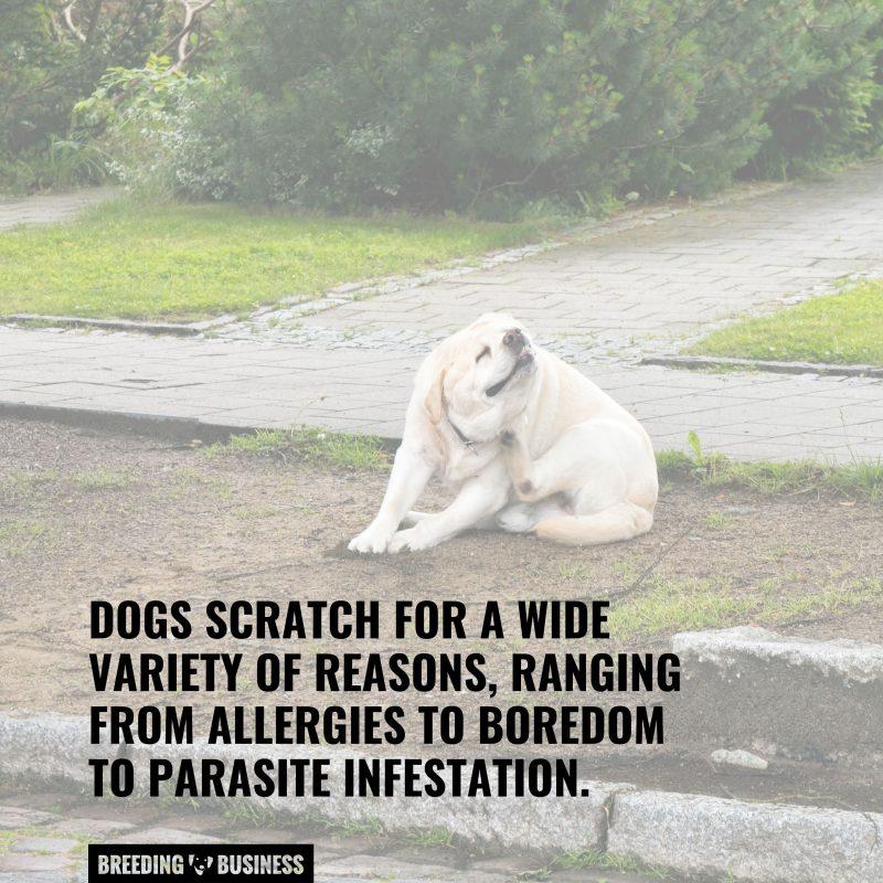 dog scratching reasons