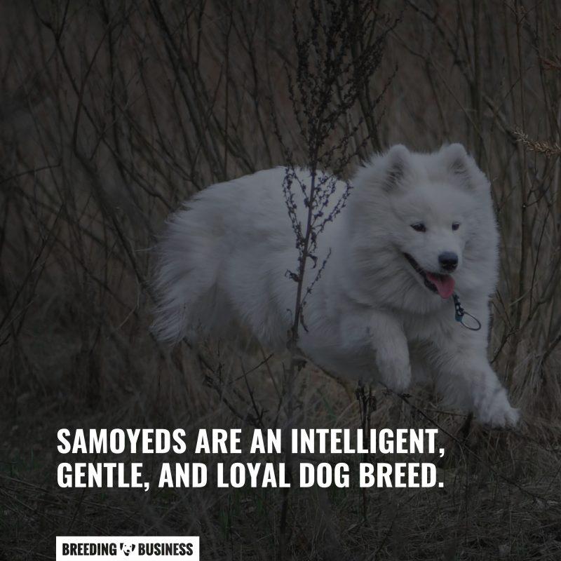 dog breed of samoyeds