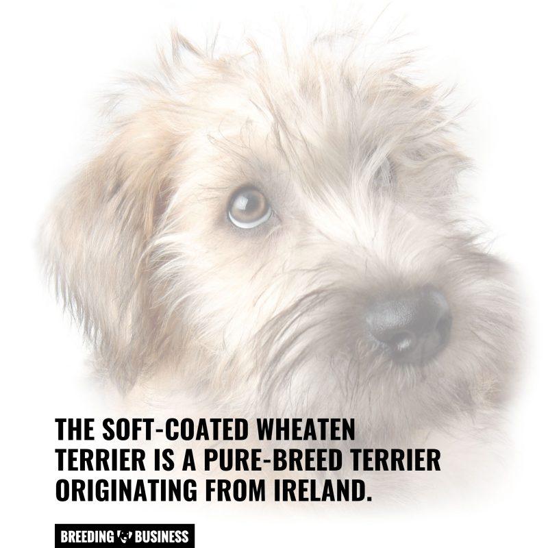 soft coat wheaten terrier origin