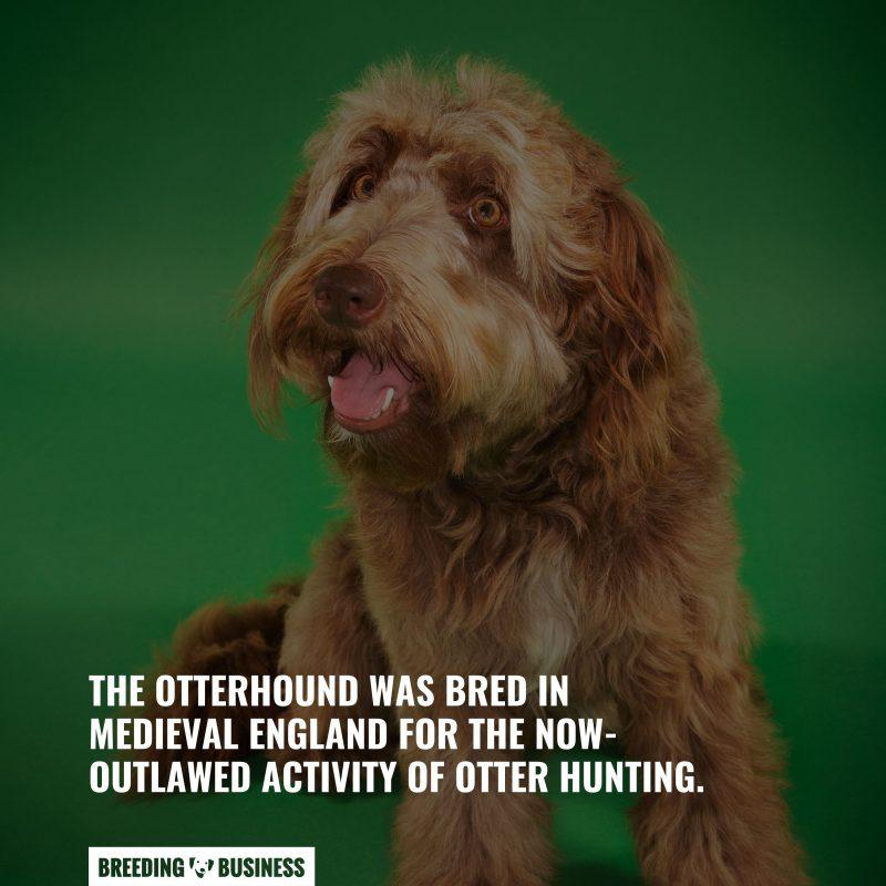 dog breed of otterhounds