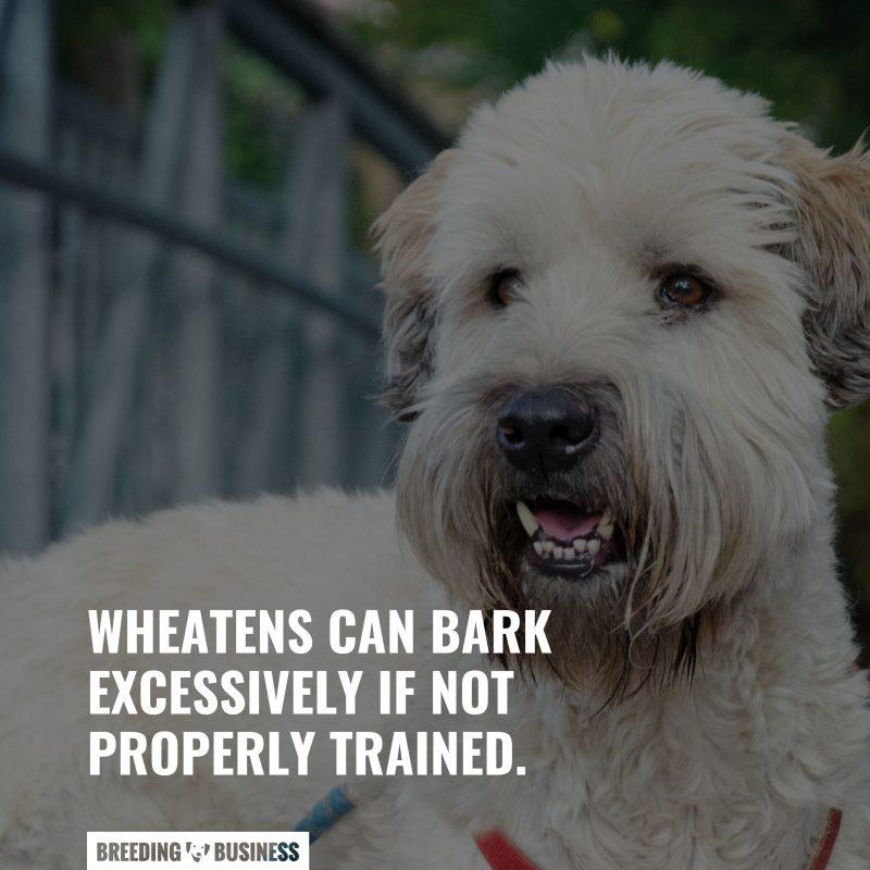 socializing soft coat wheaten terriers